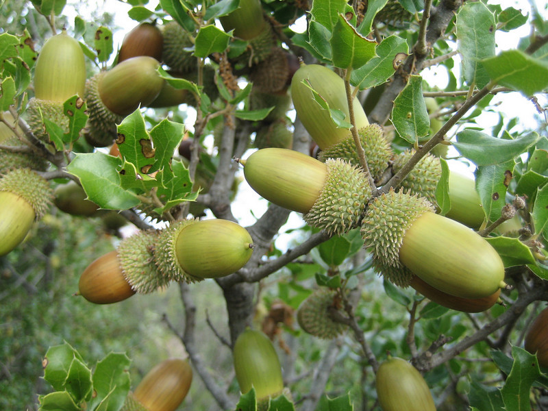 Quercus coccifera (NL: Kermeseik = variabel)(near Litochoro at the foot of Mount Olympus)