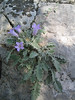 Campanula thessala (monocarpic bellflower)(near Kastri, between Agia and Volos)