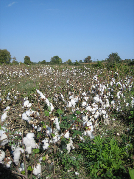 Cotton cultivation (route from Mount Olympus to Mount Ossa)