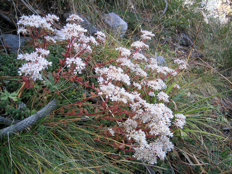 Sedum album (between Refuge A and Prionia, Mount Olympus)