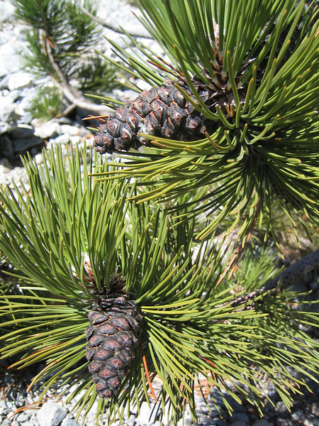 pinecone of Pinus heldreichii (NL: Griekse den)(between Refuge A and Mytikas, Mount Olympus)