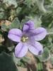 Campanula rupestris (endemic, monocarp plant)(Delphi)