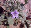 Campanula rupestris (endemic, monocarp plant)