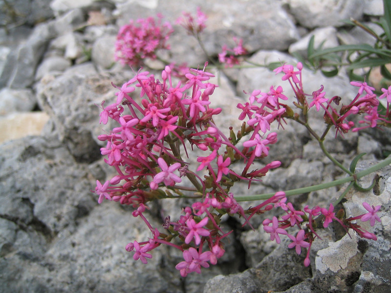 Centranthus ruber (NL: Rode valeriaan)(near Kastri, between Agia and Volos)