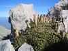 Dianthus haematocalyx (Parnassos mountains)