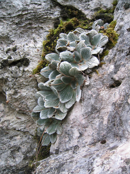 Jankaea heldreichii (Endemic of Mount Olympus)
