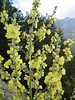 Verbascum graecum (NL: Griekse toorts) (Mount Olympus)(Between Litochoro and Prionia at the foot of Mount Olympus)