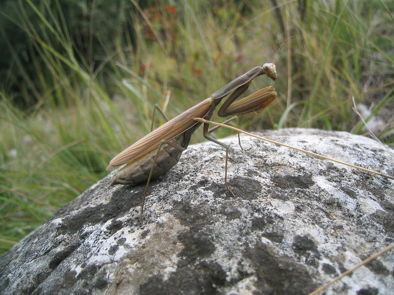 Mantis religiosa (NL: Europese bidsprinkhaan) (near Litochoro, foothills of Mount Olympus)
