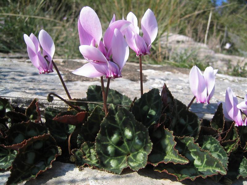 Cyclamen graecum ssp. graecum (near Kalamaki)