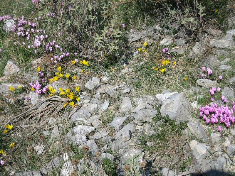 Habitat, sunny and stony, with Cyclamen graecum ssp. graecum and Sternbergia lutea or Sternbergia sicula (Between Kalamaki and Volos)