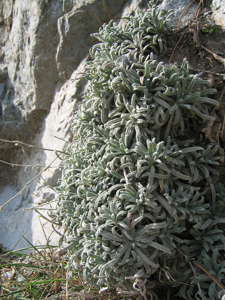 Onosma spec. (Between Litochoro and Prionia at the foot of Mount Olympus)