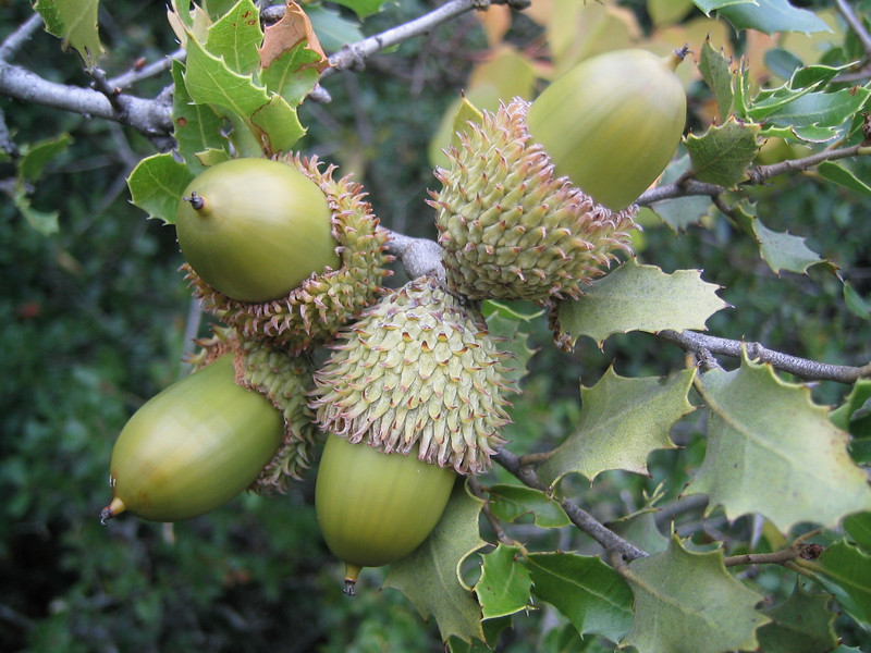 Quercus coccifera (NL: Kermeseik = variabel)(near Litochoro at the foot of Mount Olympus)