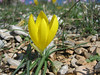 Sternbergia lutea or Sternbergia sicula (Between Kalamaki and Volos)
