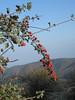 Crataegus orientalis subsp. orientalis? (NL: Oosterse meidoorn)(Mount Ossa)