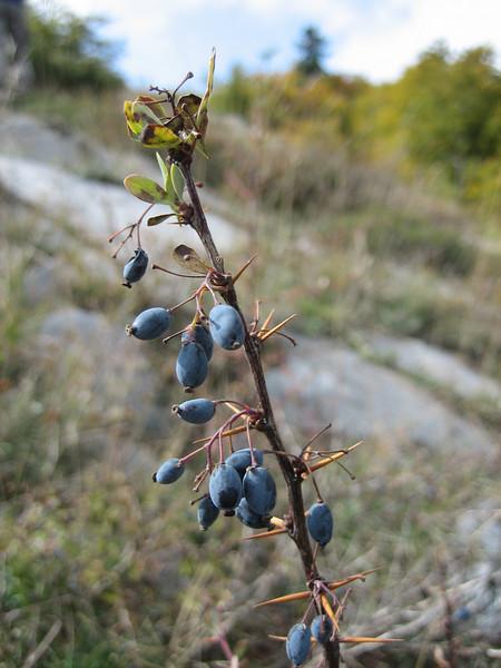 Berberis cretica (Mount Ossa)