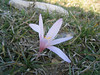 Colchicum aff. confusum (at about 1600m on Mount Ossa)