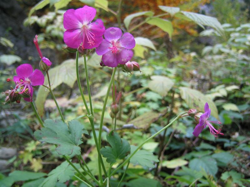 Geranium macrorrhizum (between Refuge A and Prionia, Mount Olympus)