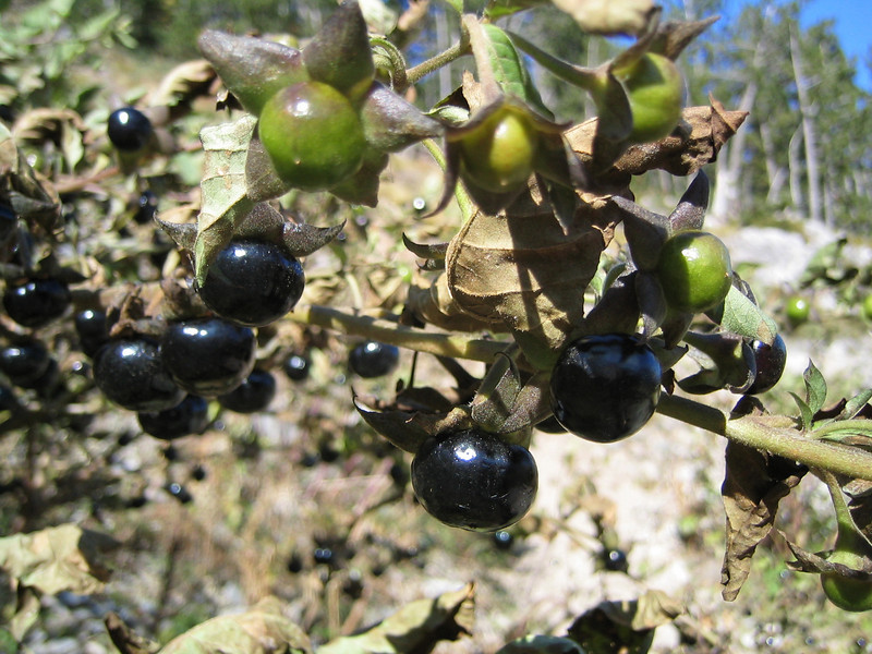 Atropa belladonna (between Refuge A and Prionia, Mount Olympus)