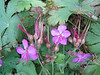 Geranium macrorrhizum (between Refuge A and Prionia, Mount Olympus)