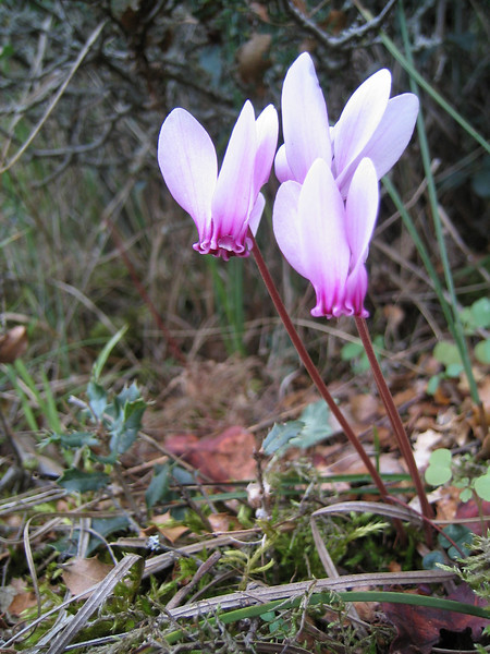 Cyclamen hederifolium ssp. hederifolium (near Litochoro at the foot of Mount Olympus)