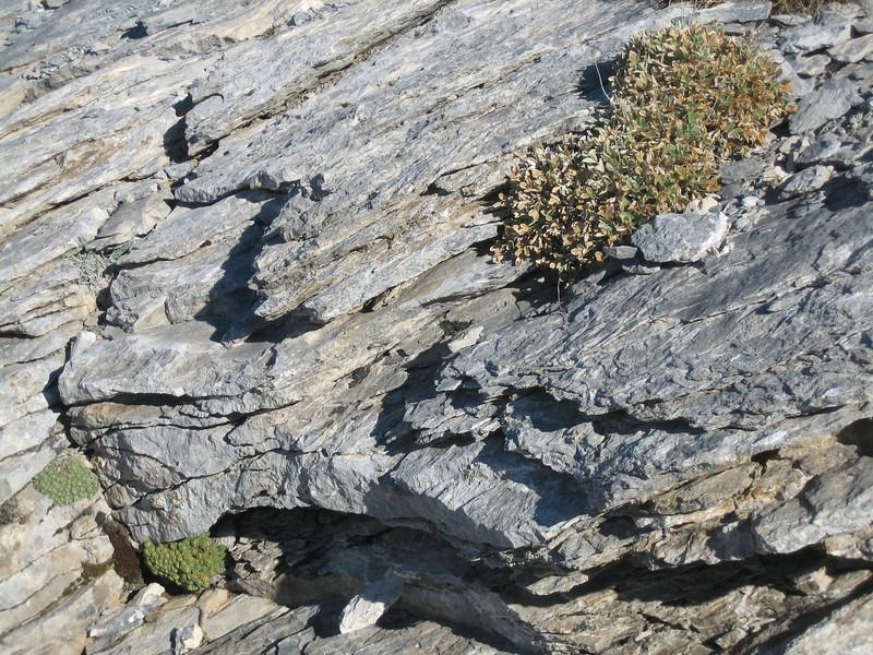 Saxifraga sempervivum, Saxifraga spruneri and Potentilla deorum
