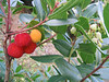 Arbutus unedo (NL: Aardbeiboom) (between Kastri and Kalamaki)