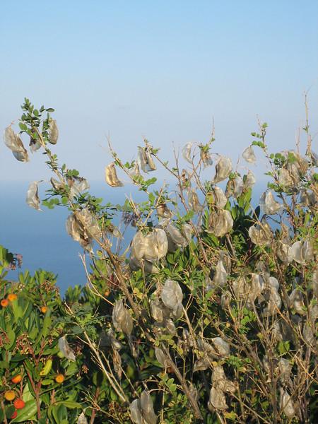 Colutea arborescens or Caragana? (Pilion)