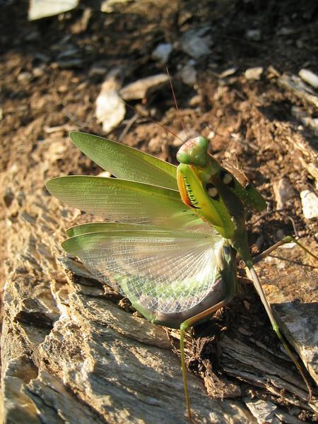 Mantis religiosa (NL: Europese bidsprinkhaan)