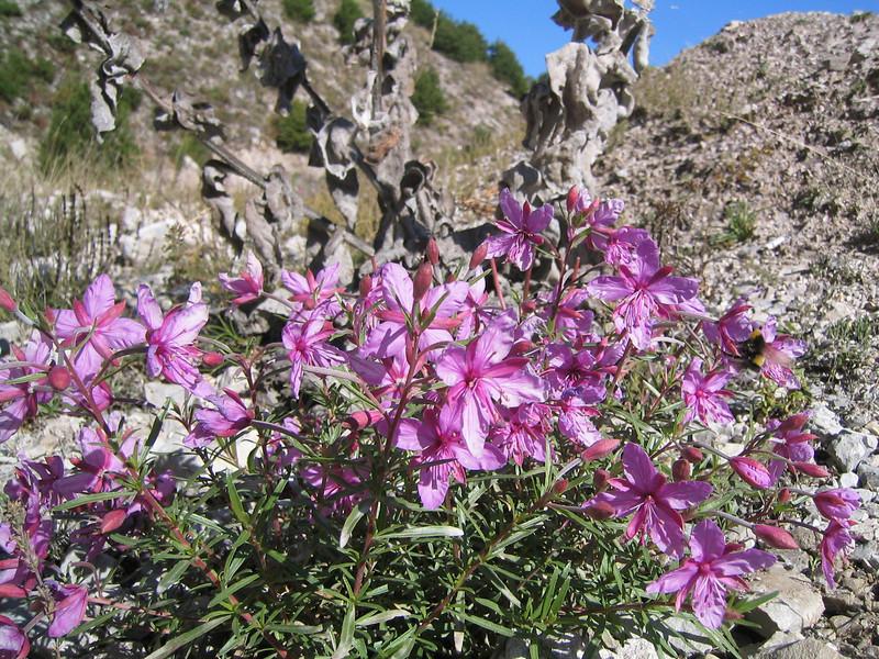 Epilobium dodonaei (Mount Parnassos)