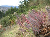 Euphorbia rigida (Mount Parnon)