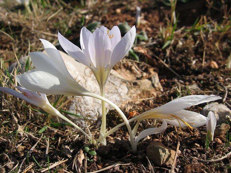 Crocus cancellatus ssp. mazziaricus