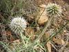 Echinops sphaerocephalus (Mani peninsula)