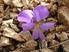 Viola chelmea