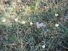 Crocus cancellatus ssp.mazziaricus