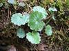 Saxifraga rotundifolia ssp. chrysosplenifolia (Langarda-gorge)