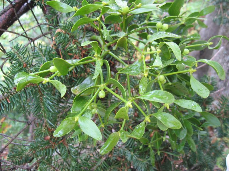 Pinus niger with Viscum album