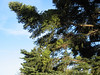 Pinus niger with Viscum album