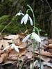 Galanthus reginae-olgae ssp. reginae-olgae