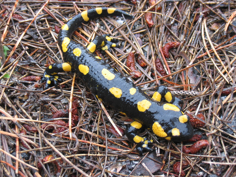 Salamandra salamandra (NL: vuursalamander)