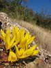 Sternbergia sicula