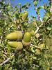 Quercus coccifera (NL: Kermeseik)