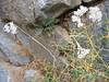Allium callimischon (Mani)