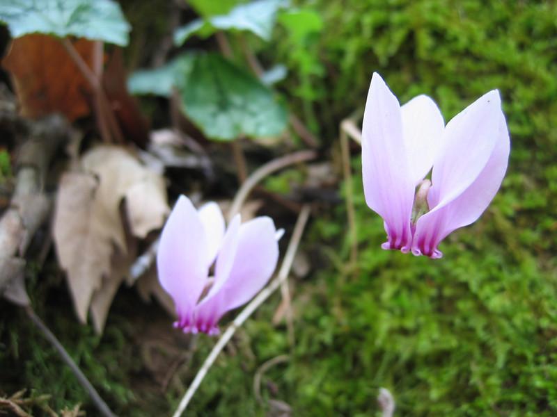 Cyclamen hederifolium ssp. hederifolium