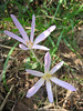 Colchicum graecum