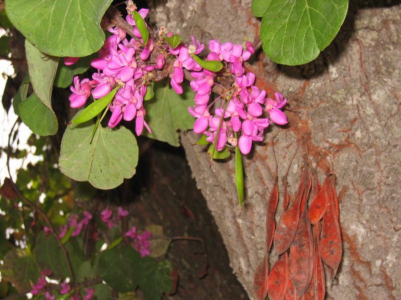 Cercis siliquastrum (Judasboom)