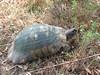 Testudo hermanni (NL: Griekse landschildpad)
