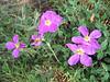 Cistus incanus ssp.creticus