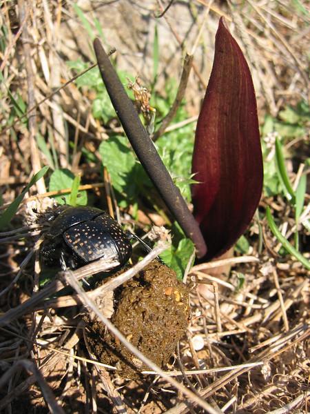 Biarum tenuifolium and Scarabaeidae spec. (NL: mestkever)