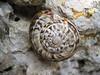 snail (Langarda-gorge)