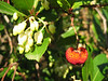Arbutus unedo (NL: aardbeiboom)